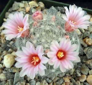 Mammillaria glassiana
