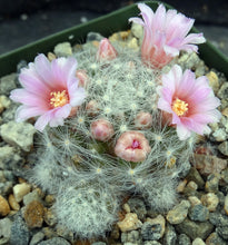 Load image into Gallery viewer, Mammillaria glassiana