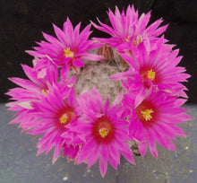 Load image into Gallery viewer, Mammillaria guelzowiana Clumping plant!