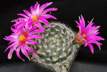 Load image into Gallery viewer, Mammillaria guelzowiana