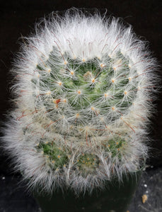 Mammillaria guelzowiana Clumping plant!