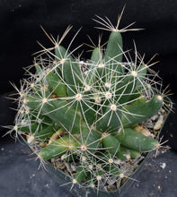 Load image into Gallery viewer, Mammillaria sphaerica