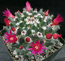 Load image into Gallery viewer, Mammillaria bucareliensis
