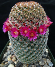 Load image into Gallery viewer, Mammillaria matudae