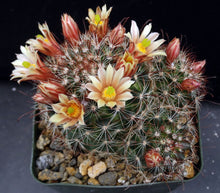 Load image into Gallery viewer, Mammillaria saffordii