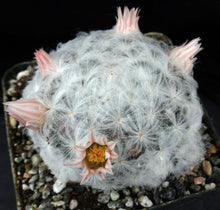 Load image into Gallery viewer, Mammillaria plumosa Clumping plants!