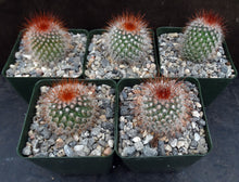 Load image into Gallery viewer, Mammillaria spinosissima
