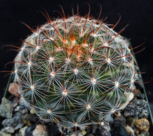 Load image into Gallery viewer, Mammillaria stampferi
