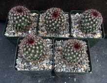 "Load image into Gallery viewer, Mammillaria duoformis ""Tenango del Valle"""