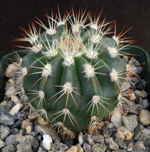 Load image into Gallery viewer, Melocactus guitartii