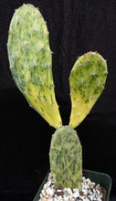 Load image into Gallery viewer, Opuntia 'Sunburst' Variegated
