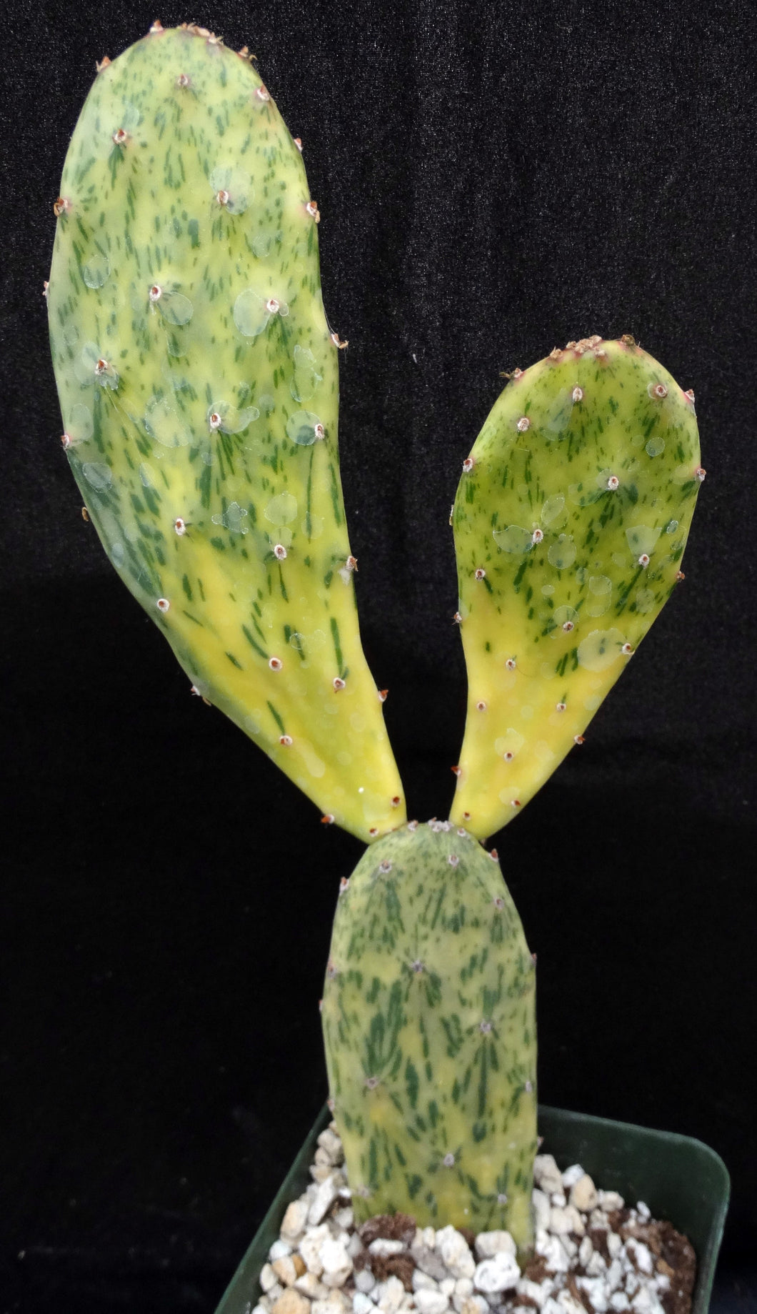 Opuntia 'Sunburst' Variegated