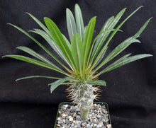 Load image into Gallery viewer, Pachypodium lamerei