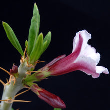 Load image into Gallery viewer, Pachypodium bispinosum