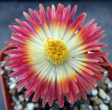 Load image into Gallery viewer, Pleiospilos nelii 'Royal Flush'