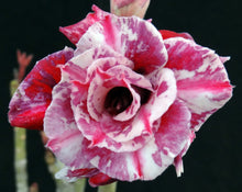 Load image into Gallery viewer, Adenium 'Purple Rain' Grafted hybrid (7)