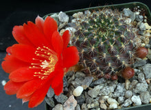 Load image into Gallery viewer, Rebutia kupperiana