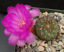 Load image into Gallery viewer, Rebutia mentosa