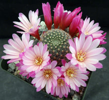 Load image into Gallery viewer, Rebutia narvaecensis