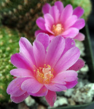 Load image into Gallery viewer, Rebutia perplexa