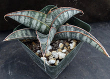 Load image into Gallery viewer, Sansevieria fischeri (Dracaena)