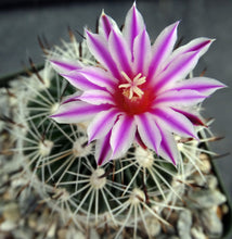 Load image into Gallery viewer, Stenocactus zacatecensis