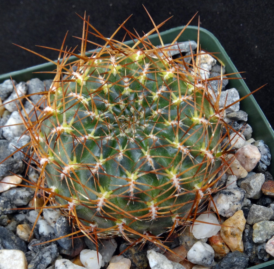 Sulcorebutia sp. nov. 'HS184'