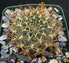 Load image into Gallery viewer, Sulcorebutia sp. nov. 'HS184'