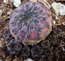Load image into Gallery viewer, Sulcorebutia rauschii