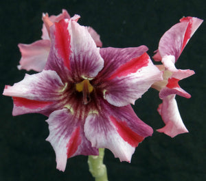 Adenium 'Taveesap Purple' Grafted Hybrid (1)