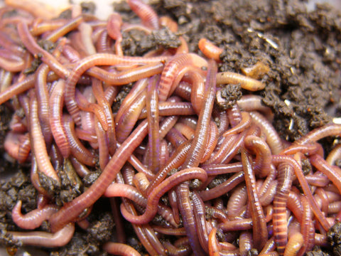 Red Wiggler Worms (Eisenia fetida) - Free Shipping