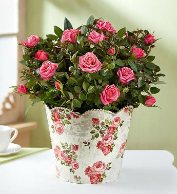 Classic Budding Rose Plant - DavaoShop International Gift Service - Send Gifts to your loved ones in the US, Canada, Australia and UK