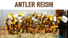 Load image into Gallery viewer, Organic Antler Reishi Tincture