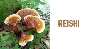 Reishi (Ganoderma Lucidum) Liquid Culture