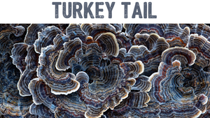 Turkey Tail (Trametes versicolor) Liquid Culture