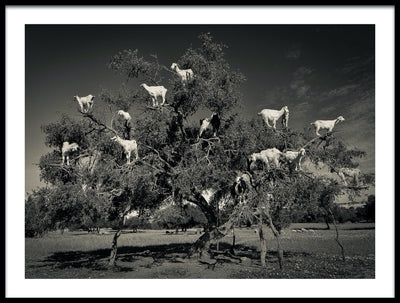 Vossington wall art and fine art photography of funny tree-climbing Argan goats in Morocco