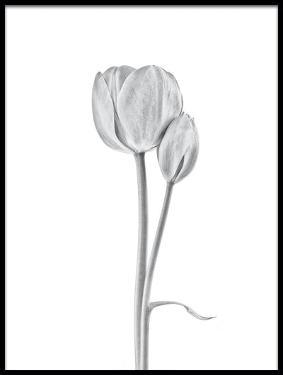 Vossington wall art and fine art photography of two monochrome tulips against a white background