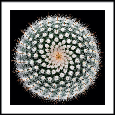 Vossington wall art and fine art photography of a Notocactus plant, sometimes called the silver ball cactus