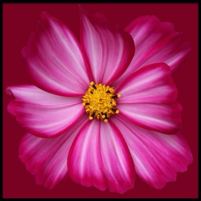 Vossington wall art and fine art photography of a colorful pink flower