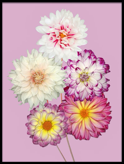 Vossington wall art and fine art photography of five colorful dahlias
