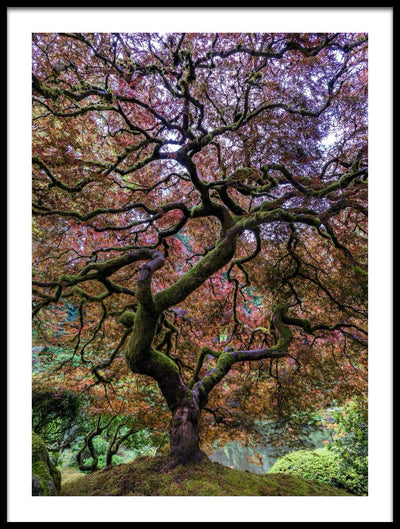 Vossington wall art and fine art photography of an autumn maple tree in the Portland Japanese Garden in Oregon