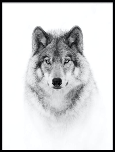 Vossington wall art and fine art photography of a timber wolf against a white background