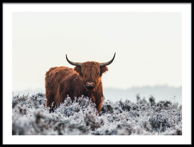 Vossington wall art and fine art photography of a Highland cow in a frosty landscape