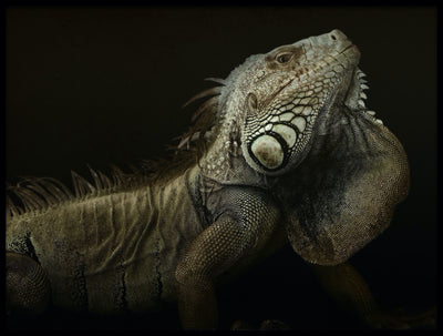 Vossington wall art and fine art photography of a magnificent iguana against a black background
