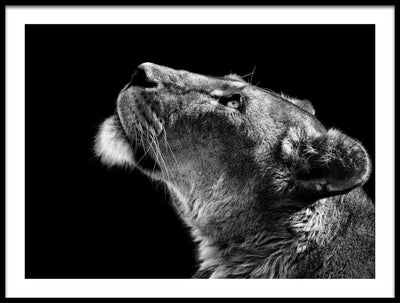 Vossington wall art and fine art photography of the profile of a lioness dreamingly looking upwards against a black background