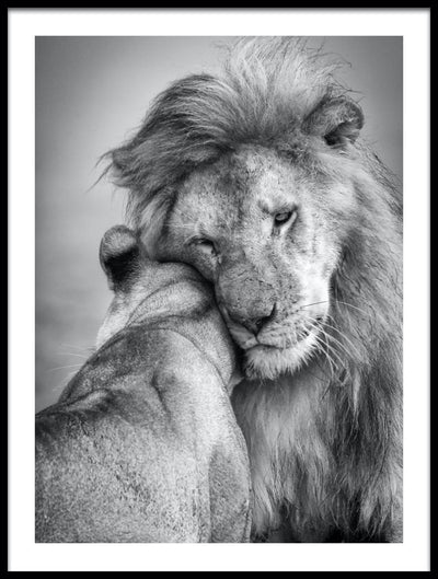Vossington wall art and romantic fine art photography of a lion and lioness couple tenderly embracing each other showing their love and affection