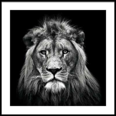 Vossington wall art and fine art photography of a lion's face with a majestic mane against a black background