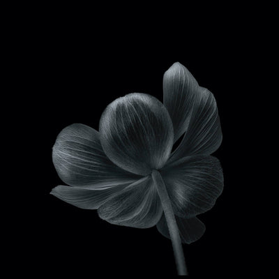 Vossington wall art and fine art photography of the petals of a blooming flower against a dark background in a minimalist style
