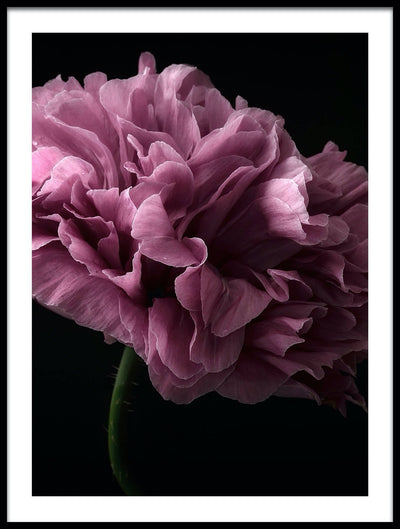 Vossington wall art and fine art photography of a blooming peony against a black background