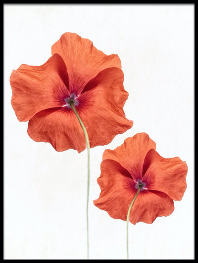 Vossington wall art and fine art photography of two colorful poppy flowers against a white background